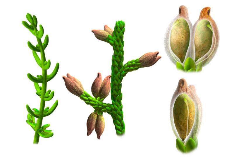 Illustrations basées sur des restes fossilisés montrant les formes à feuilles longues et courtes de la plante ainsi qu'une graine © Oscar Sanisidro