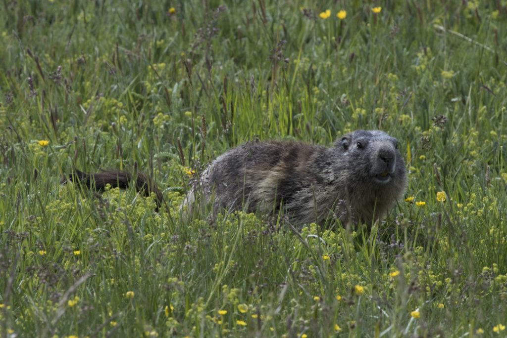 la marmotte alpine - les marmottes alpines se repèrent à leur bague posée par les scientifiques