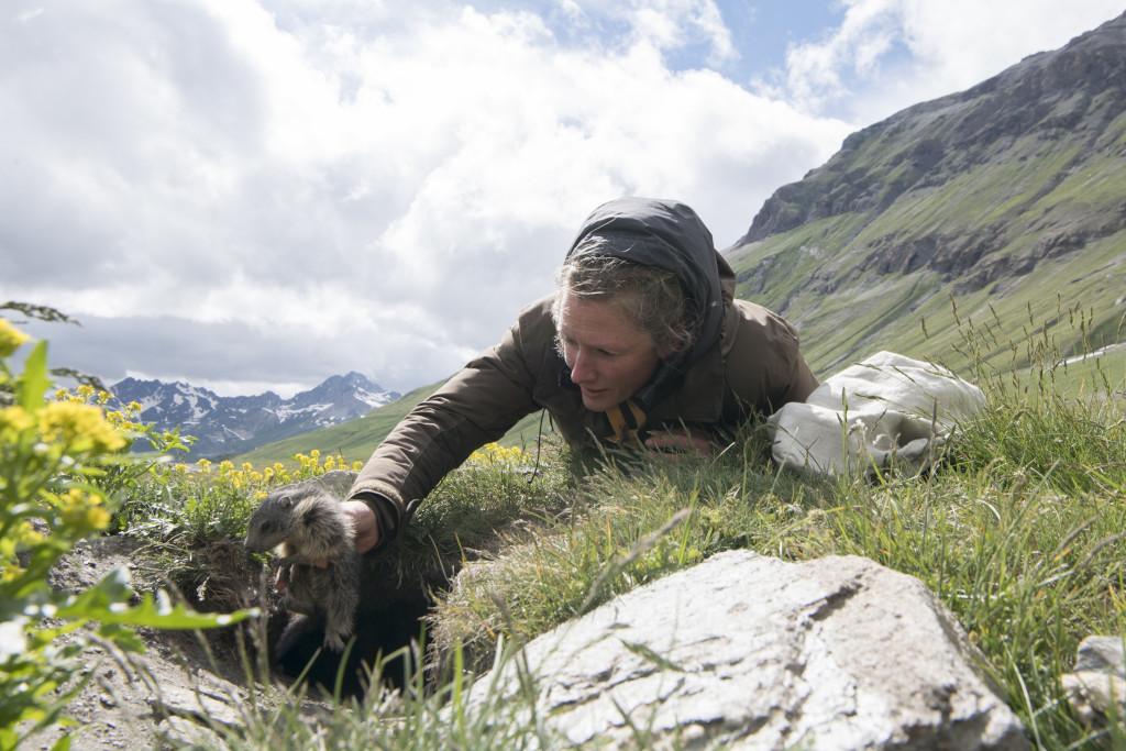 La marmotte alpine - Un marmotton dans les mains de Sylvia